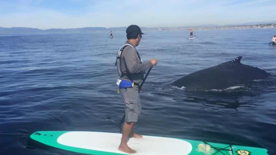 Whale Watching on Liquid Shredder SUPs standup paddleboards